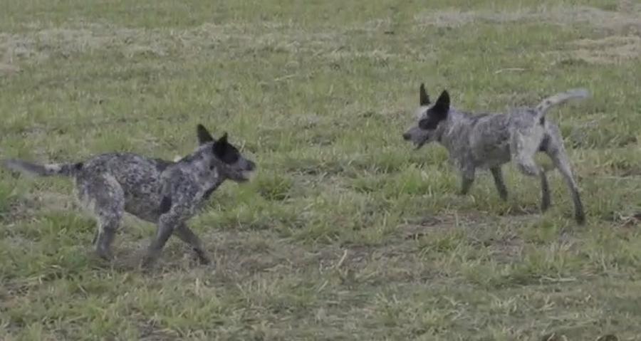 cães da raça blue heeler na UFGD