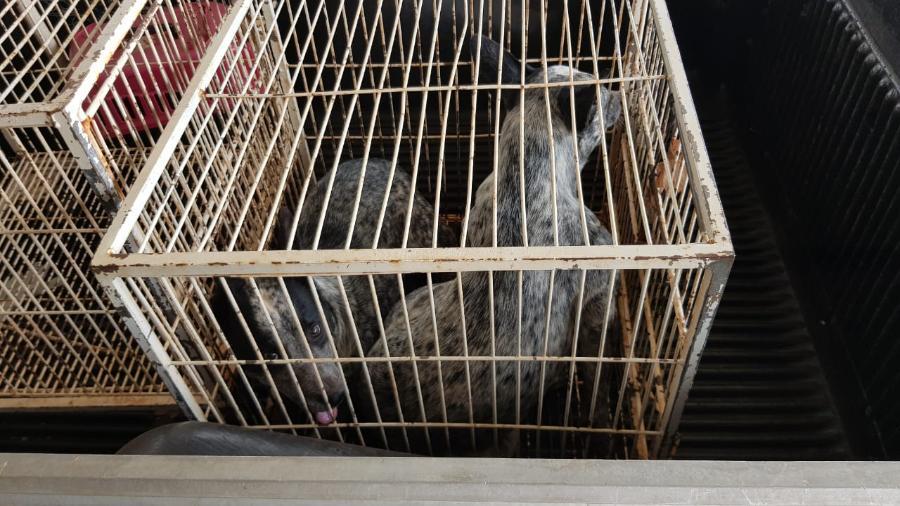 cães da raça blue heeler capturados